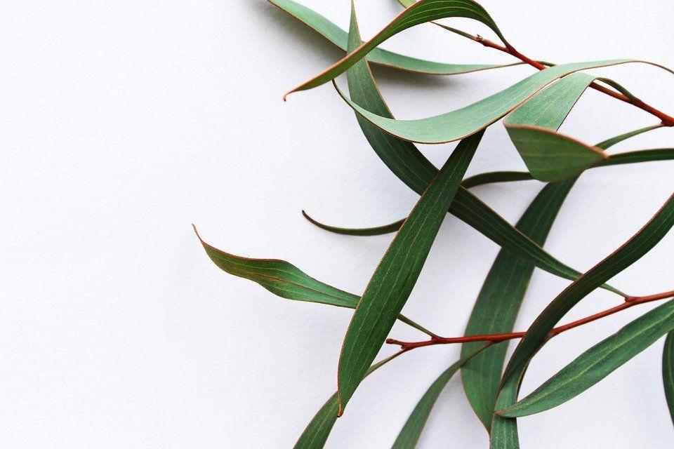 Infusiones de eucalipto