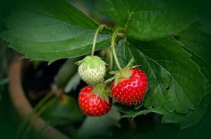 Infusión de fresa