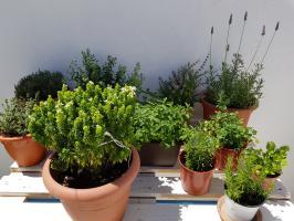 Cultivar tus propias plantas medicinales para infusiones en casa