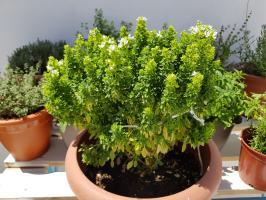 Cultivar en casa albahaca para infusiones