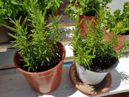 Cultivar romero en casa