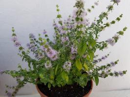 cultivar menta poleo en casa