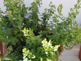 Cultivar tomillo limon en casa