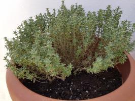 Cultivar tomillo en huerca en casa