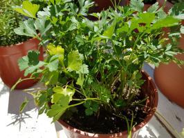Perejil cultivado en casa