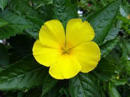 damiana afrodisiaco natural