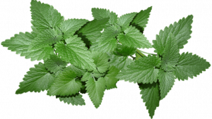 hojas de menta detox